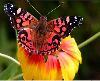 mariposas del vietnam